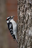 Woodpecker Downy Imagem de Stock Royalty Free
