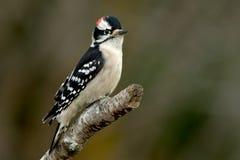 Woodpecker Downy Foto de Stock Royalty Free