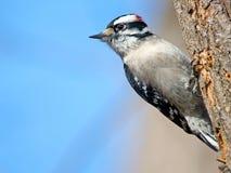 Woodpecker Downy Fotos de Stock