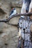 Woodpecker Downy fotos de stock royalty free