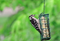 Woodpecker Downy Foto de Stock Royalty Free