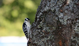 Woodpecker Downy Foto de Stock