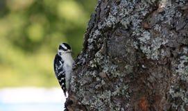 Woodpecker Downy Foto de Stock