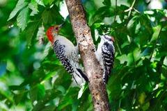 Woodpecker Downy & Woodpecker Vermelho-Inchado Imagens de Stock Royalty Free