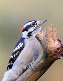 Woodpecker Downy empoleirado Imagem de Stock Royalty Free