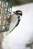 Woodpecker Downy empoleirado no alimentador do Suet Imagem de Stock