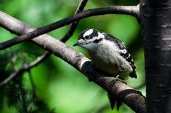 Woodpecker Downy imaturo empoleirado em uma árvore Fotos de Stock