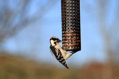Woodpecker Downy male Stock Images