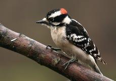 Woodpecker downy masculino foto de stock royalty free