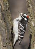 Woodpecker downy masculino Imagens de Stock Royalty Free