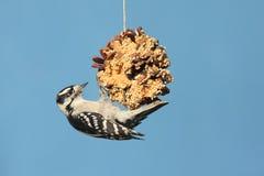 Woodpecker Downy (pubescens do Picoides) Imagens de Stock