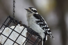 Woodpecker Downy que come o Suet Imagem de Stock