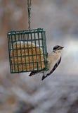 Woodpecker Downy que pendura sobre fotografia de stock