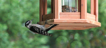 Woodpecker-Easier way to eat Royalty Free Stock Photo