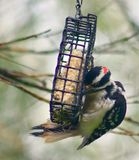 Woodpecker eating suet. Woodpecker clinging to the suet cage Stock Photography
