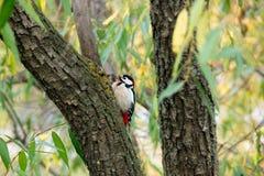 Woodpecker em uma árvore Fotos de Stock