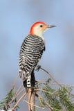 Woodpecker em uma filial do pinho Fotografia de Stock