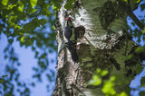 Woodpecker father with food for their chicks Stock Image