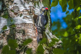 Woodpecker father with food for their chicks Royalty Free Stock Image