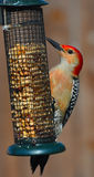 Woodpecker at feeder Stock Image