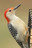 Woodpecker on a Feeder Royalty Free Stock Photo