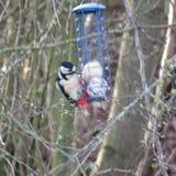 Woodpecker feeding stock photos