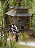 Woodpecker Feeding at Brid Feeder Royalty Free Stock Photo
