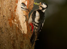 Woodpecker feeding young Stock Images