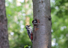 Woodpecker feeds the chick in the nest hollow Stock Photo