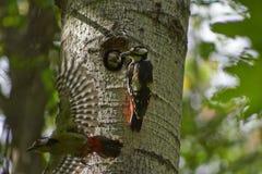 Woodpecker feeds its chicks. Royalty Free Stock Photo