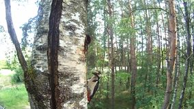Woodpecker feeds nestlings in the hollow stock video footage