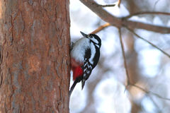 Woodpecker find food on pine trunk in wint Stock Photo