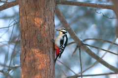 Woodpecker find food on pine trunk in winter fores Stock Photo