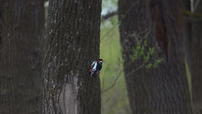 Woodpecker is flying away from a tree. Bird in the forest. Slow motion 240 fps stock video