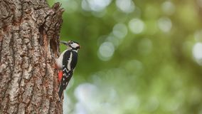 Spottet woodpecker feeding its chicks in the tree cave royalty free stock photography