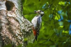 Woodpecker with food for the kids. Great Spotted Woodpecker, Dendrocopos major currently has a hectic schedule to feed their kids. The picture is shot by Roeds Stock Photos