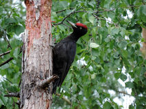 The woodpecker. In the forest Stock Images