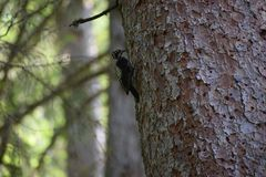 Three-toed woodpecker at work stock image