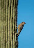 Woodpecker Gila льнуть к кактусу стоковые фото