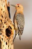 woodpecker gila Стоковые Изображения RF