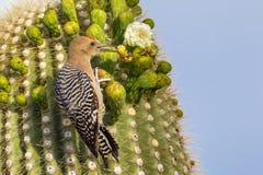 Woodpecker Gila стоковое изображение rf
