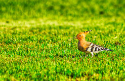 Woodpecker on the grass Royalty Free Stock Image