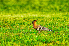 Woodpecker on the grass Stock Images