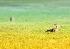Woodpecker on the grass Stock Photo