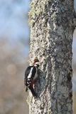 Woodpecker hacking out a nest Stock Photography