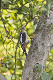 Woodpecker with hazelnut Stock Photos