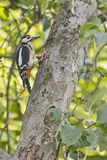 Woodpecker with hazelnut Royalty Free Stock Images