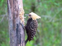 Woodpecker head yellow pecking rotten trunk. Woodpecker yellow head perched pecking rotten trunk looking for larvae and ants stock photo