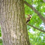 Woodpecker Hidding Stock Photos