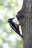 Woodpecker at his nest after feeding the chicks. royalty free stock images